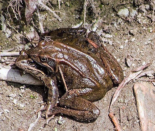 Die Amphibien, auch Lurche genannt